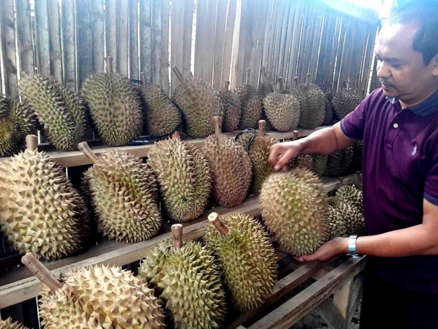 Image : Berburu Durian Lokal di Desa Purworejo